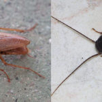 What are the German Cockroaches and Oriental Cockroaches and how you can get rid of them?