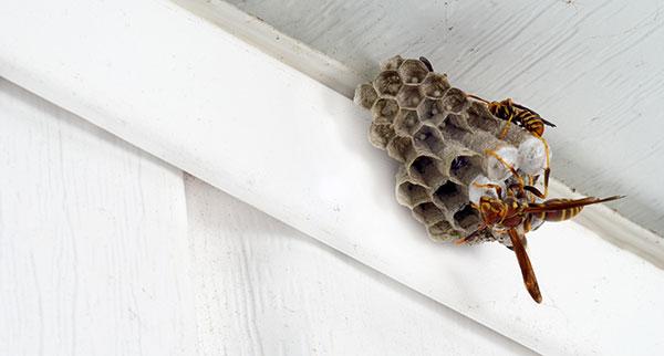 Wasps – Pest Control 24 London