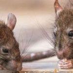 UK rat warning: 120 million rats could invade homes