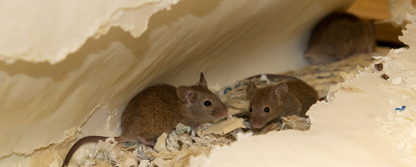 Pest Control advice for controlling Mice – part II