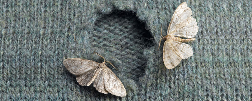 Clothes moths appear to be in greater numbers