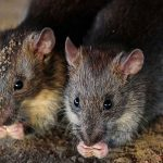 Plagues of roaches, rats, and bedbugs sweep Britain