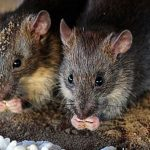 Man dies in China due to hantavirus that RATS spread to humans