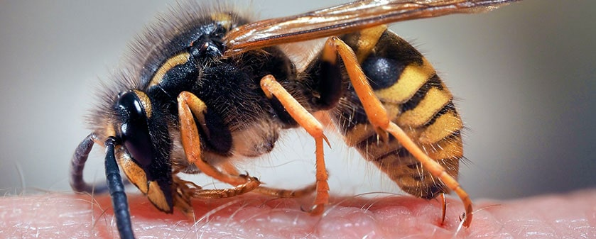 Pest advice for controlling Wasps
