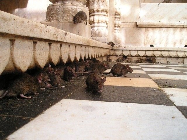 many rats sheltering in building