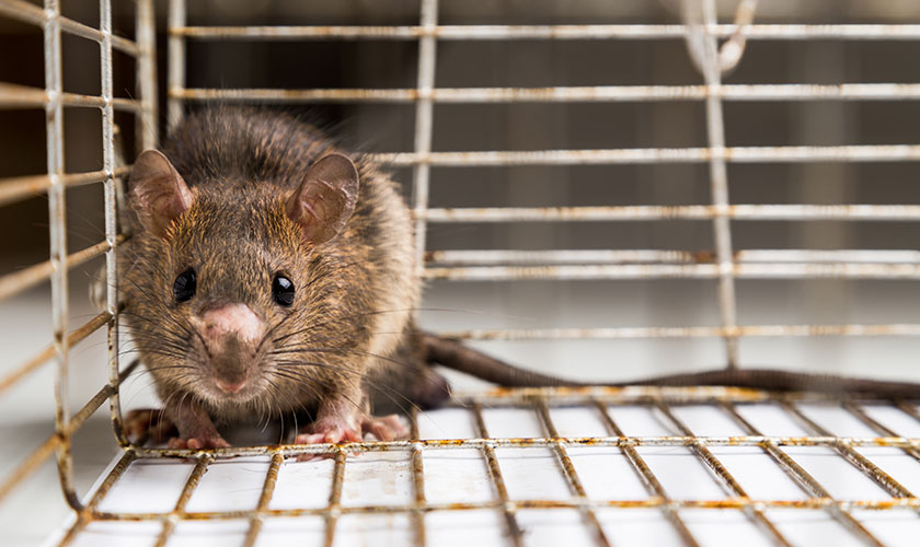 Rats Control in London