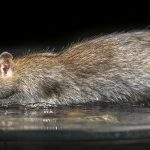 Health hazards posed by rodents