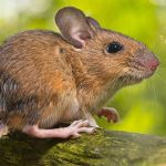 How mice affect houses across London in winter