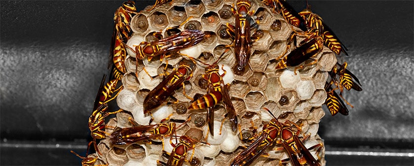 Wasps Control – different stinging insect species based on their nests