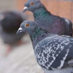 Pigeons control or removal in London