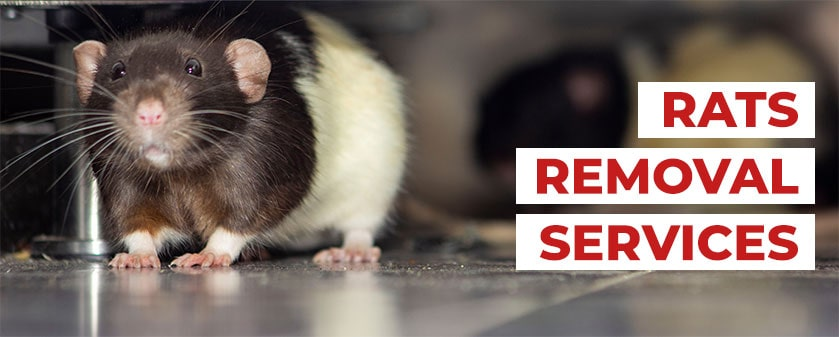 Attic Rat Removal & Cleanup