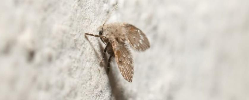 Drain Flies Infestation